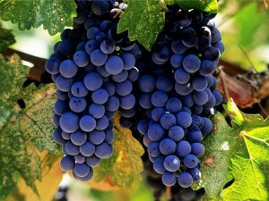 Vranec Grapes